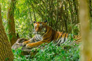 Portrait of Royal Bengal tiger (Panthera tigris tigris)
